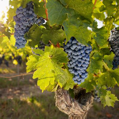 Filière viticulture et dynamiques agricoles de territoires néo-aquitains