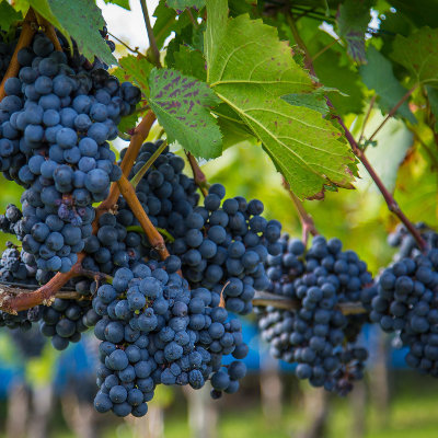 Le point sur la filière viti-vinicole en Nouvelle-Aquitaine
